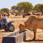 Cattle in drought