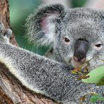 Saving the koala from extinction requires a slow and steady approach, environmental advocate says